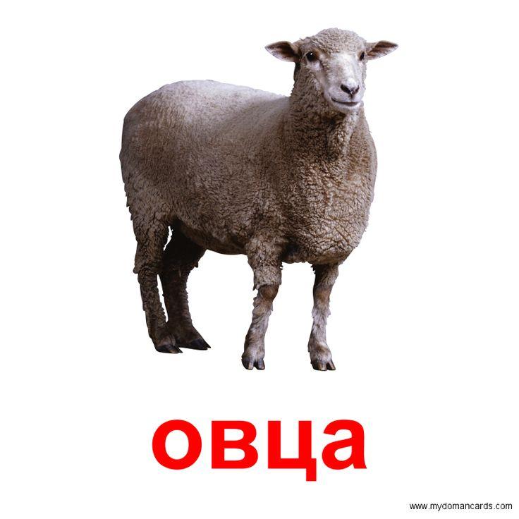 Овцаи - Бесплатная Карточка Домана