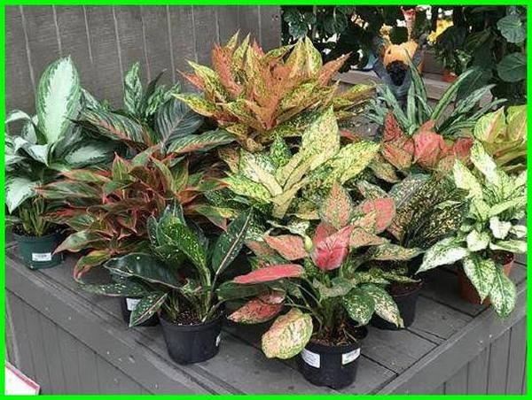 22 Tanaman Hias Yang Hidup Tanpa Sinar Matahari Dunia Fauna Hewan Binatang Tumbuhan Aglaonema Chinese Evergreen Plants Chinese Evergreen