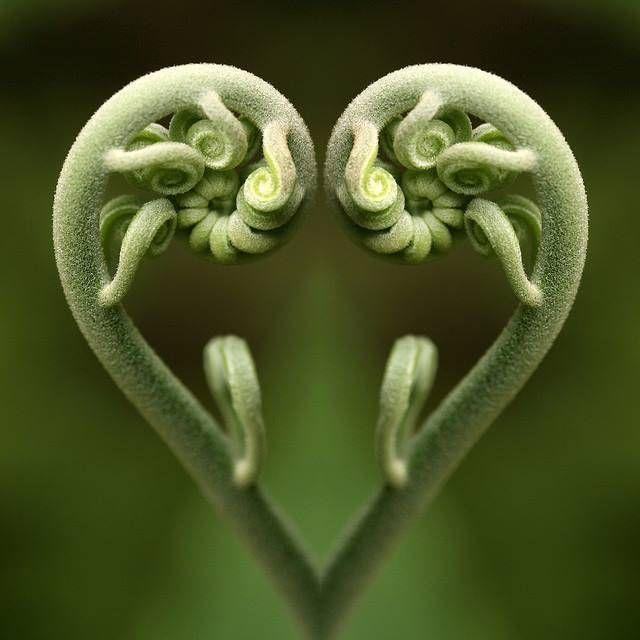 Spirale de nouvelles frondes de fougères argentées, appelée Koru dans la culture maori
