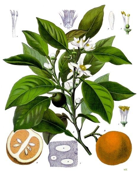 Neroli oil is a plant oil produced from the blossom of the bitter orange tree (Citrus aurantium subsp. amara or Bigaradia). Its scent is sweet, honeyed and somewhat metallic. Image by Franz Eugen Köhler, Köhler's Medizinal-Pflanzen 1897.