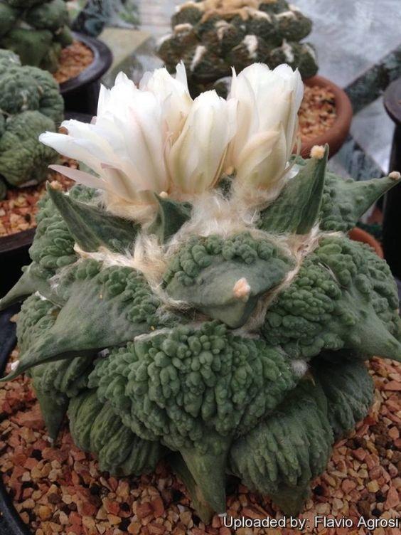 Ariocarpus retusus cv. Cauliflower