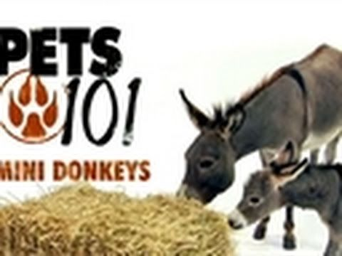 Pets 101- Mini Donkeys :::::::::::: #cute, #funny