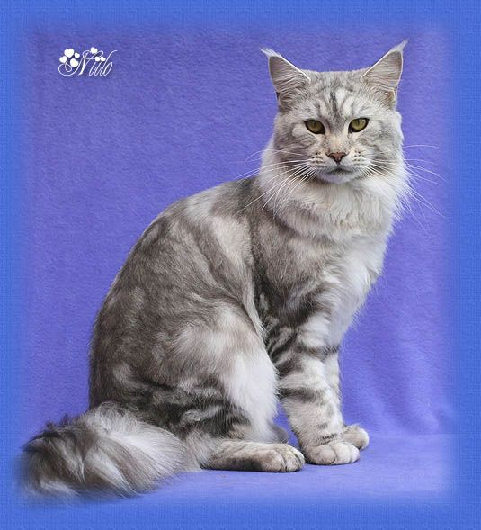 Maine Coon, Black Silver Blotched (ns 22). Chamberlain Less Is More