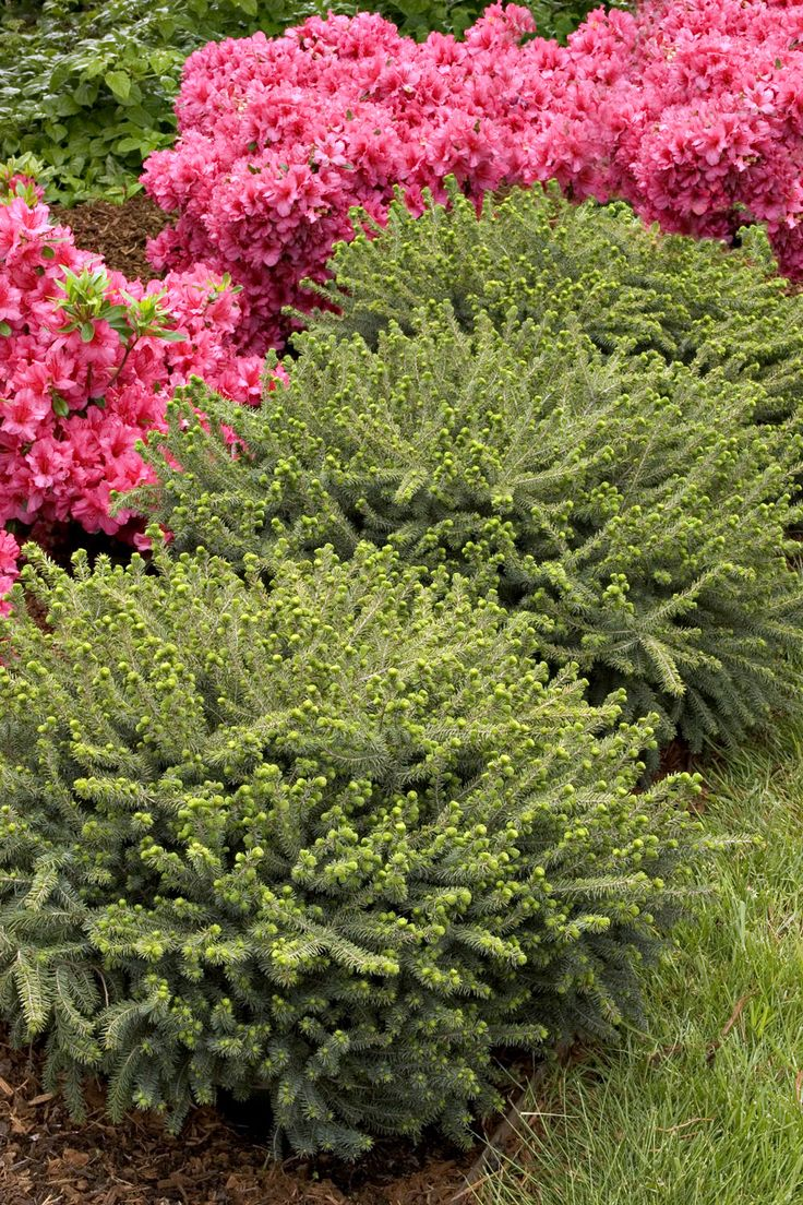 Monrovia S Dwarf Black Spruce Details And Information Learn More About Plants Best Practices For Possible Plant Performance