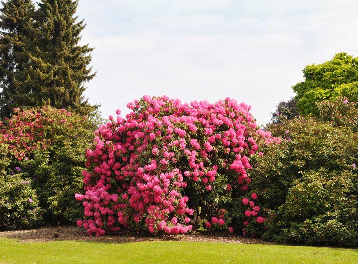 Rododendron to niezwykły krzew nadający się do każdego typu ogrodu. Uraczy wszystkich pięknymi i okazałymi kwiatami. #flowers #plants #design #flora  #inspirations #garden #rhododendron
