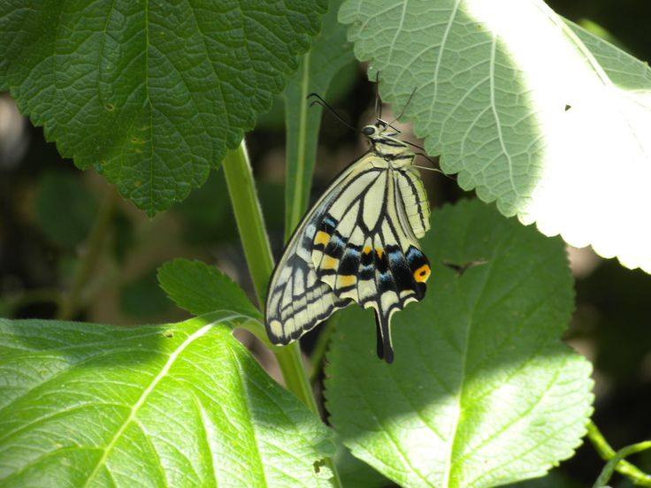 Butterfly. Callaway GardensGeorgiaBeautifulButterflies