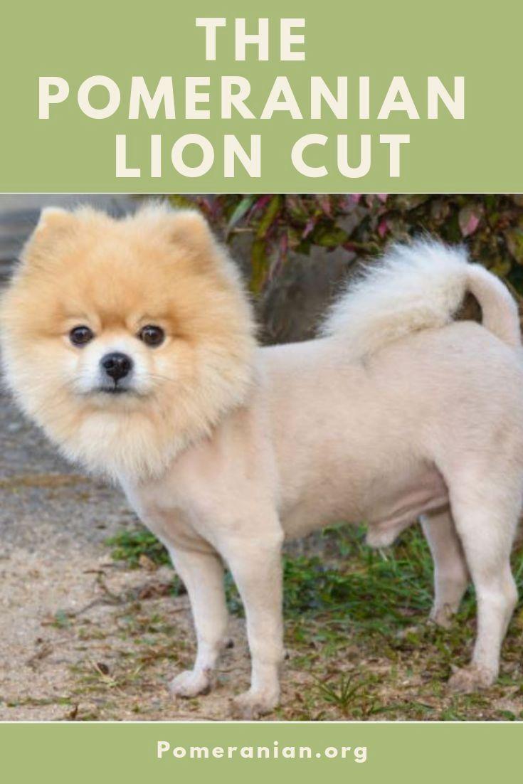 Pin By Dog Life On Pomeranian Pomeranian Haircut Pomeranian Dog Pomeranian Puppy