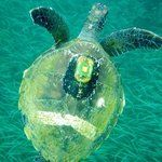 This is Stripey the green sea turtle. She lives at Fly point. Amazing snorkelling in Port Stephens NSW