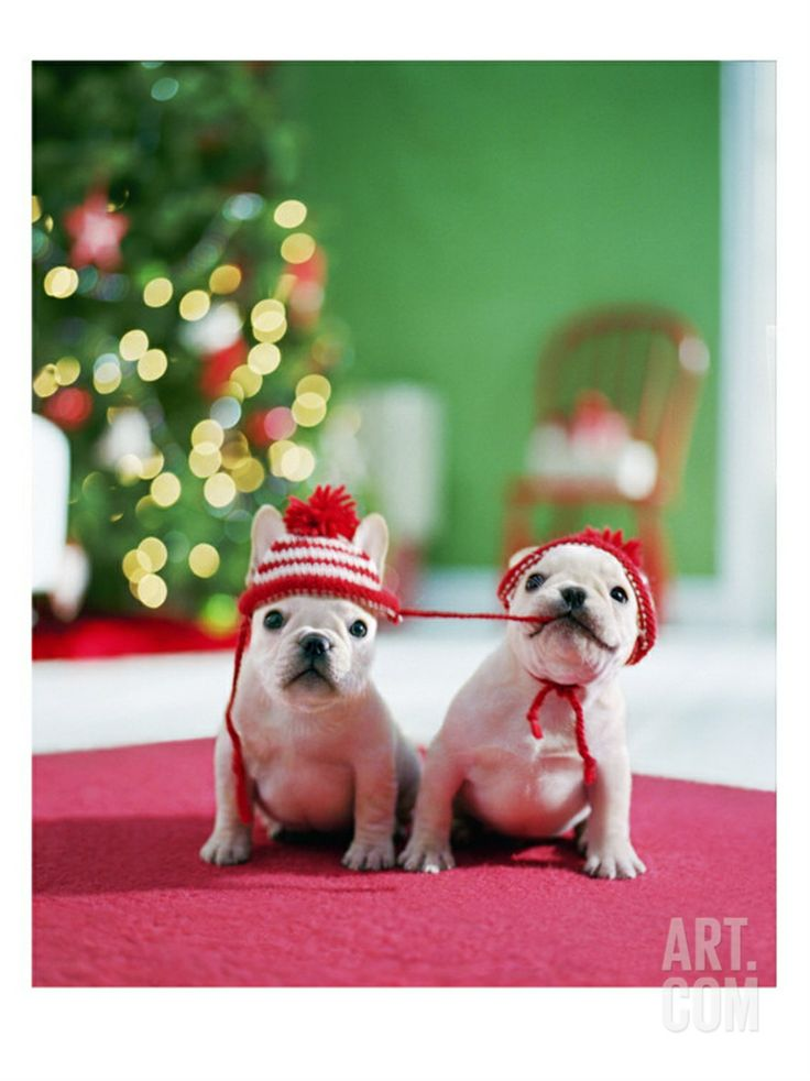 White French Bulldogs Ready for the Holidays