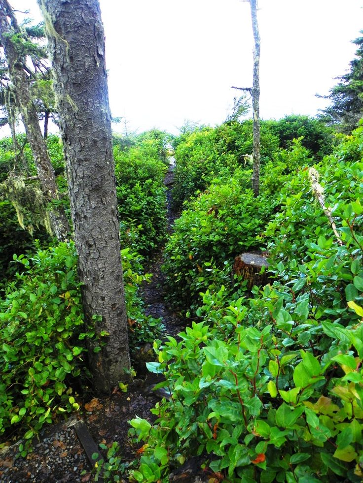 Walls of salal 12 feet high on both sides of the trail