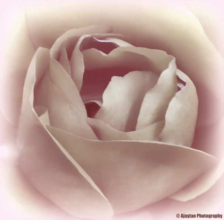 Rose - B & W - 8 - Ajaytao