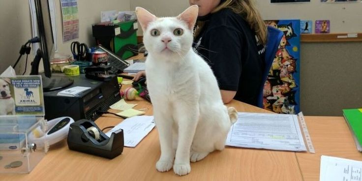This Cat Has Been Up For Adoption For Over 400 Days - Champas from the Animal Welfare League Australia