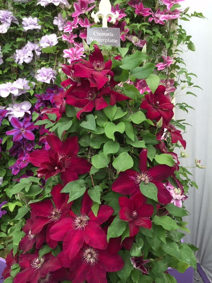 Armitage's Vines and Climbers: A Gardener's Guide to the Best Vertical Plants