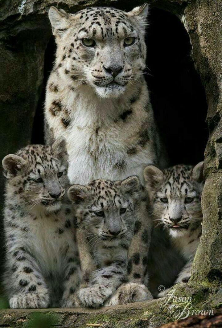 snow leopard family  Order an oil painting of your pet now at www.petsinportrait.com