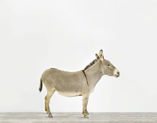 Baby donkey photographed by Sharon Montrose