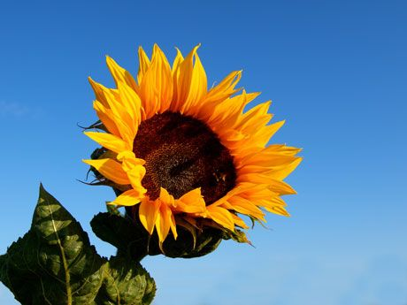 How To Grow Black Oil Sunflowers.