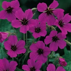 Patricia geranium 3 for vivid cyclamen red blooms for Hardy low maintenance perennials