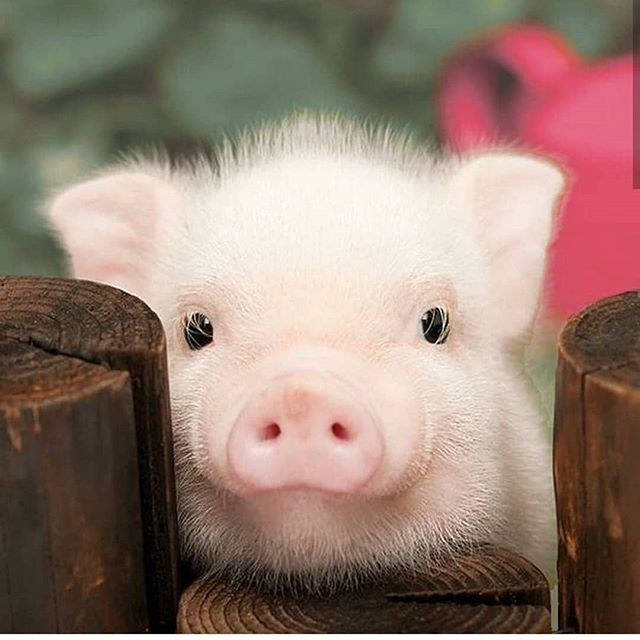 Wishing You Happy Year Of The Pig On Behalf Of All Pigs Cute Animals Baby Pigs
