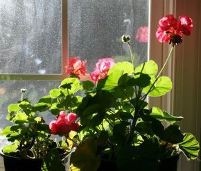 Bring geraniums indoors during the winter, and return outdoors.