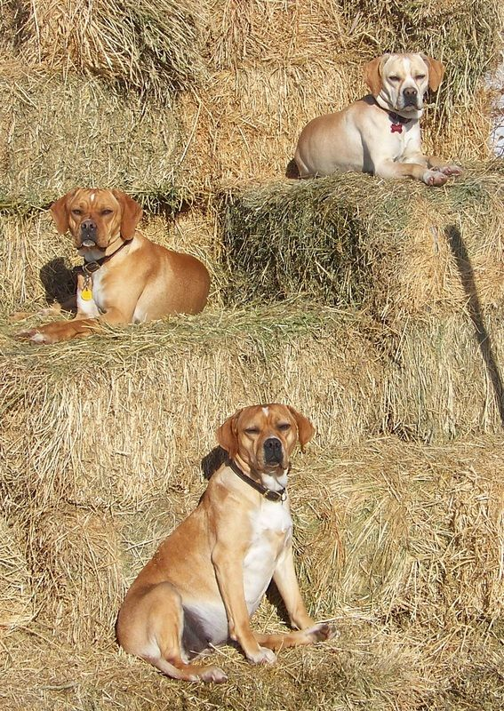 Portuguese Pointer / Perdigueiro Português #Dogs #Puppy