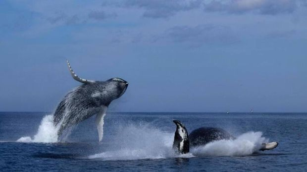 Whale double breach recorded by Sue Bailey, a Canadian Press reporter located in St. John's. Sue was on an O'Brien's Whale and Bird Tour off Bay Bulls when the breach happened. Fantastic footage.