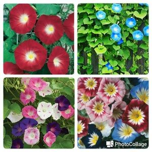 Paket Hemat Benih Bunga Morning Glory Tanaman Merambat Mudah Tumbuh