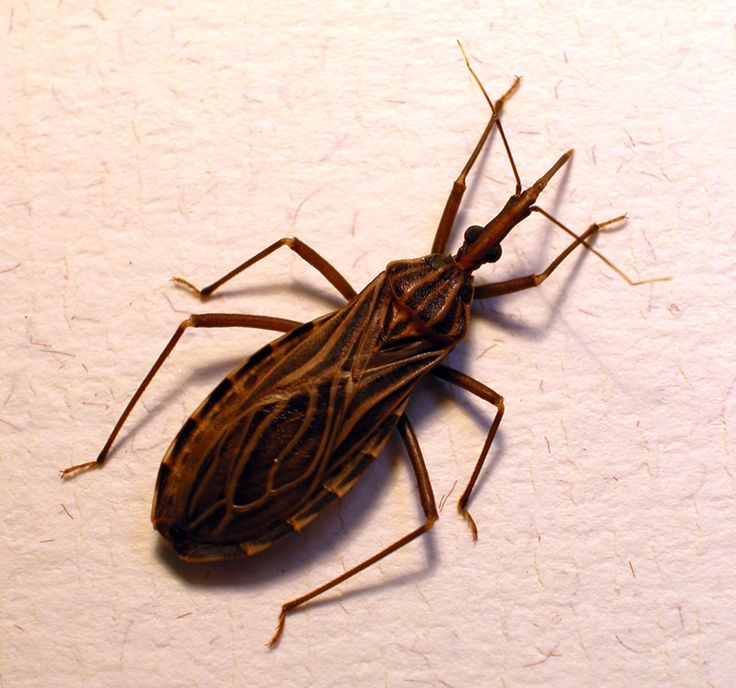 The triatomine bug: really deadly. And really disgusting to look at.