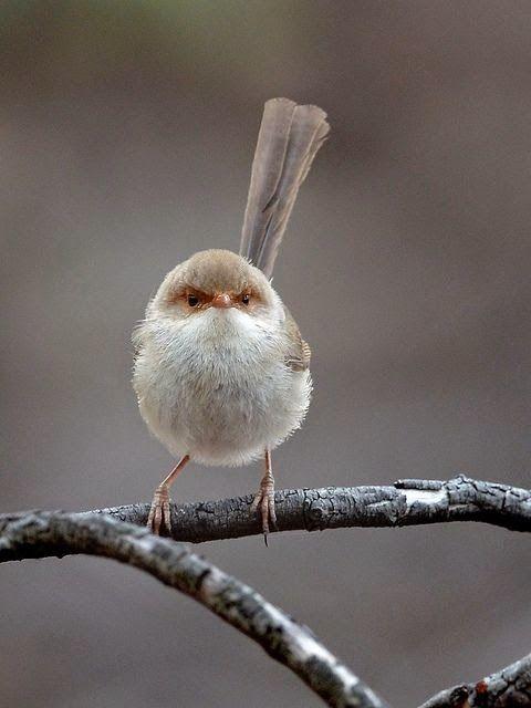 Superb Fairy-wren