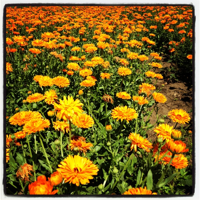 Beautiful calendulae... On Tour with our flower experts