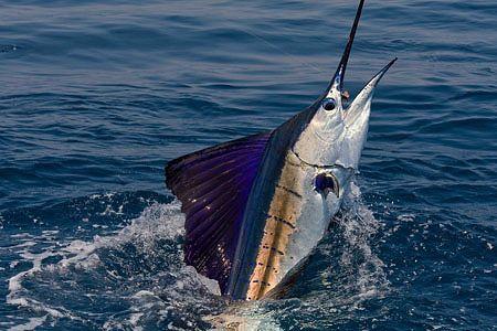 Sailfish.  PEZ VELA   VOILIER  de la misma familia del marlin y el pez espada......