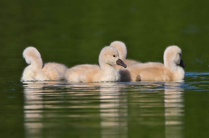 The beautiful swan scenes in this photo gallery.