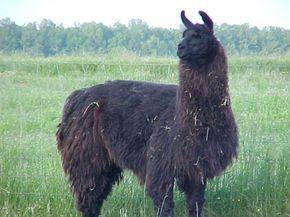illamas   Alpacas, vicuñas y llamas (bichos raros de Sudamerica) - Taringa!
