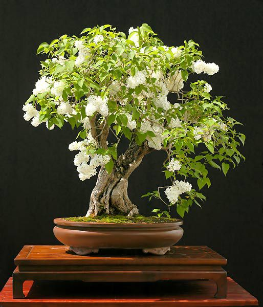 Walter Pall - Garden lilac Bonsai (Syringa vulgaris). 75 cm About 85 years old. Wow! Beautiful flowering Bonsai.