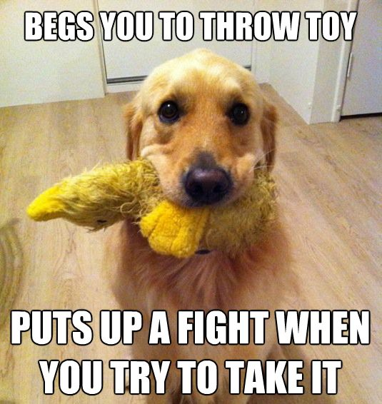 All. The. Time.Dogs Toys, Puppies, Funny Dogs, Funny Pictures, So True, Dogs Owners, True Stories, Animal, Golden Retriever