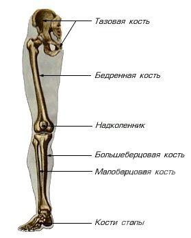 Скелет (кости) нижней конечности