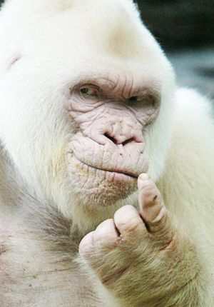 """Come 'ere. I got sumthin' to tell ya!"" ""Snowflake"", the albino gorilla. He is the only known white gorilla so far and was the most popular resident of the Barcelona Zoo in Spain."