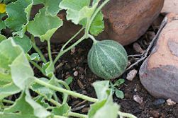 Tips on growing cantaloupe: Protect the fruits as they begin to grow.  Cantaloupes growing on ground vine runners need to be positioned off of the soil. Place the fruit on mulch or pedestals, such as upside down cans or pots.