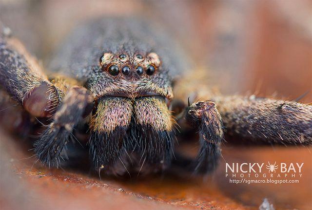 Huntsman Spider (Sparassidae) - DSC_1197 by nickybay, via Flickr