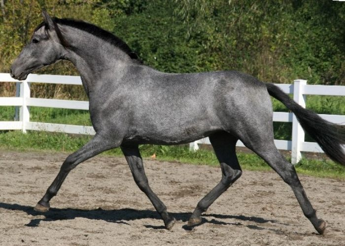 I love blue roan horses and isn't this one gorgeous?