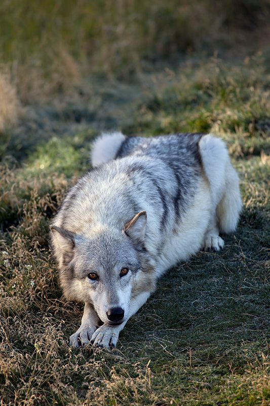 Grey wolf being playful.. My heart just melted a little bit. For reals, I want one..   You can tell by its body language it wants to play :')