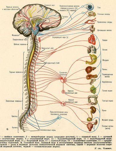 Scientific Illustration — moshita: nervous system                                                                                                                                                                                 More