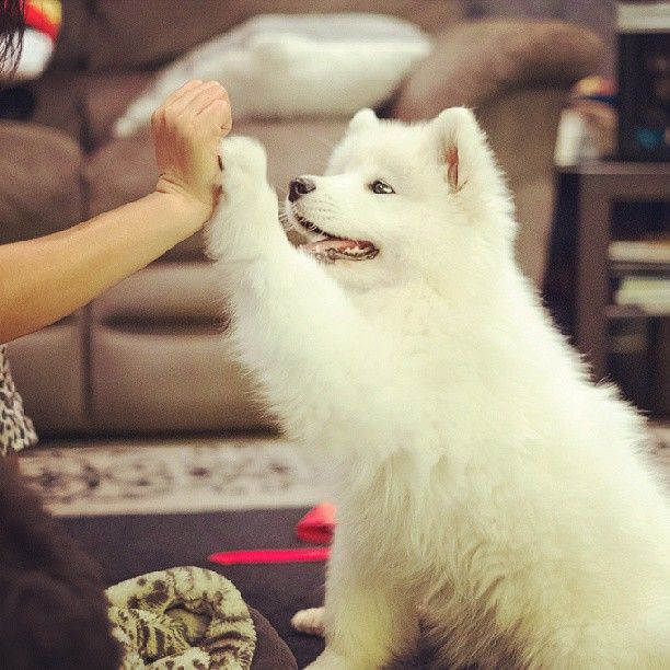 Samoyed high five!