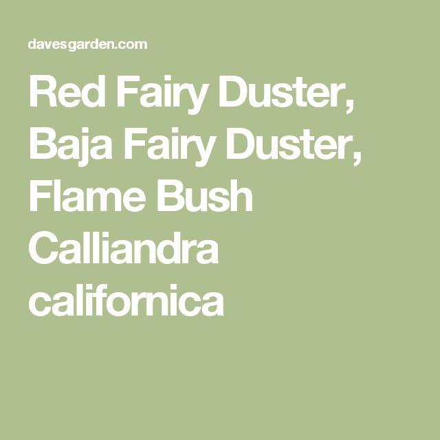 Red Fairy Duster, Baja Fairy Duster, Flame Bush Calliandra californica