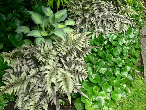 1000 Ideas About Japanese Fern On Pinterest Shade Trees Ferns And Japanese Painted Fern