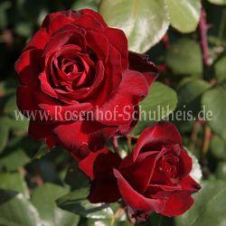 Ingrid Bergmann - dunkelrot - 60cm_bis_1m - Rosen von Schultheis