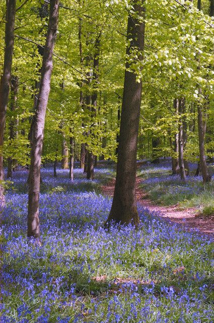 Over half the worlds Bluebell Woods are in the UK - wow I hope that's true! We certainly have our fair share at Blackwood Forest, Hampshire!