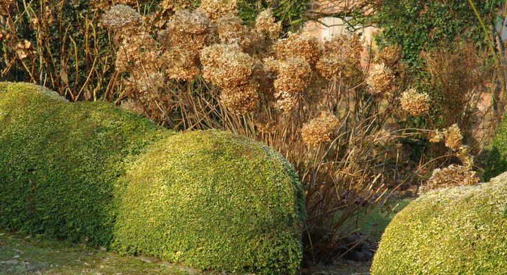 Deux arbustes pour remplacer le buis en climat continental : le chèvrefeuille et l'abélia.
