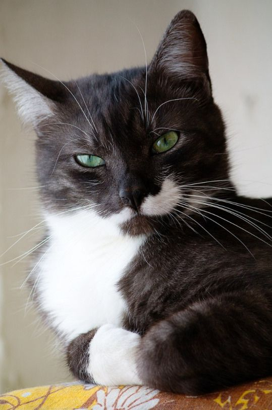 Looks like a philanthropist, playboy tuxedo tomcat. But my oh my, those eyes. haha.