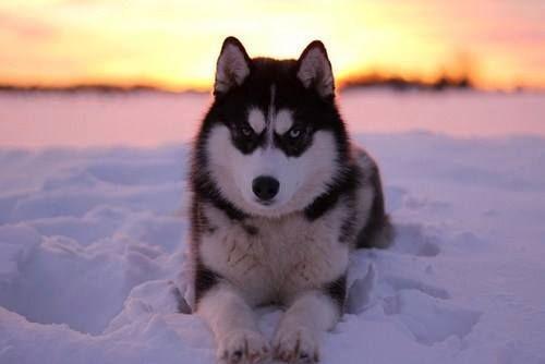 angry husky puppy - photo #23