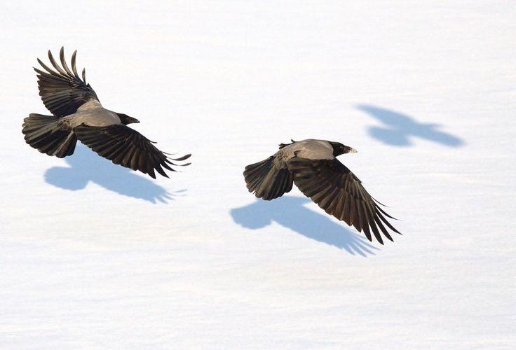 Hooded crows - Aaskrähe – Wikipedia Zwei Aaskrähen im Flug. Die Art zeichnet sich vor allem durch ihre breiten Flügel mit gerundeten Spitzen aus. Die Handschwingen sind proportional kürzer als etwa bei der Saatkrähe (C. frugilegus).